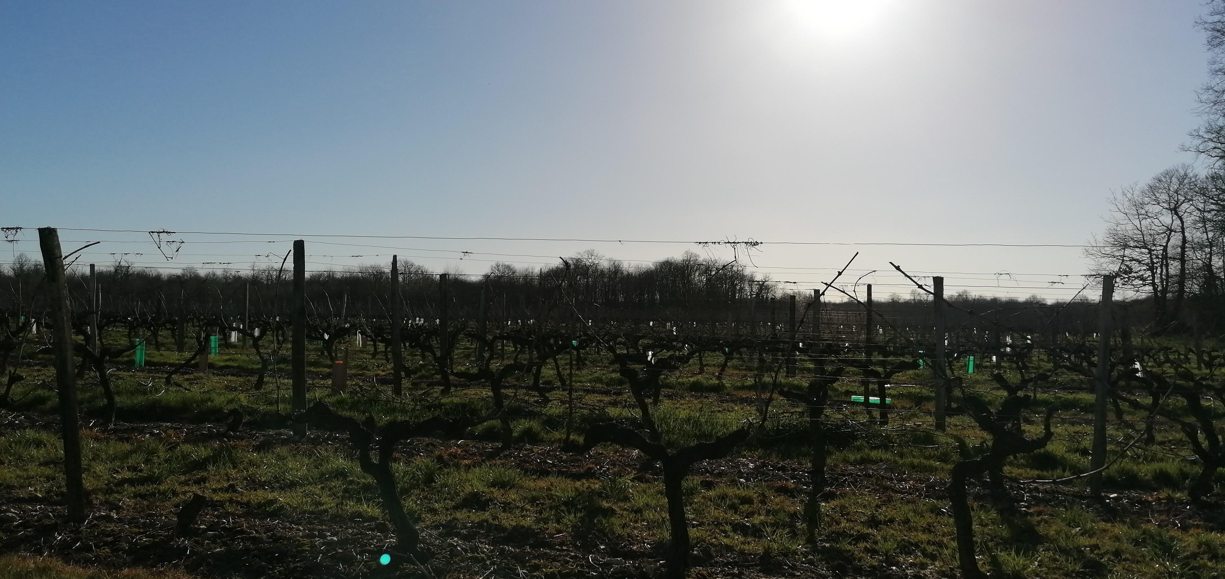 Vigne avec soleil hivernal