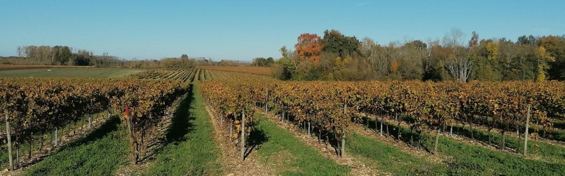 Vignes et soleil automnale